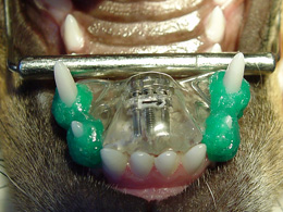 Base narrow canines